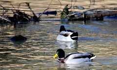 20140202_05_Coombe Country Park - Mallard Ducks