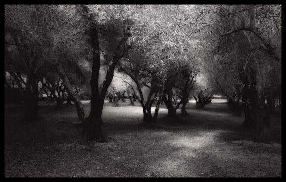 Olive Grove - Filoli - 2014