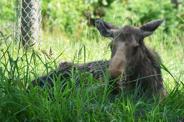 Moose in the Grass