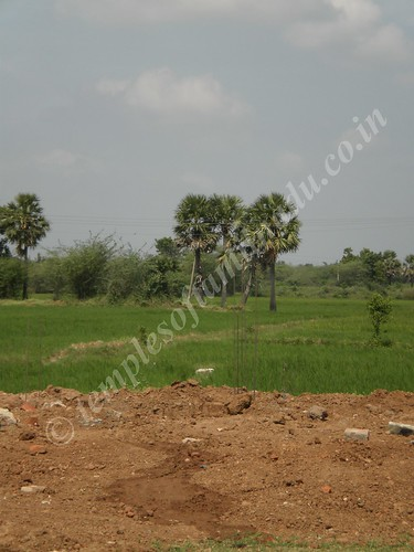 Paddy field abutting the temple. Adhi Vaithyanatha Swamy, Mannipallam