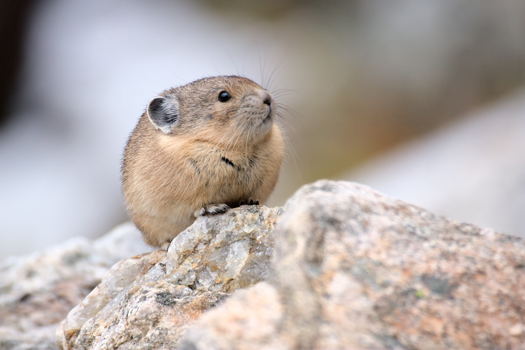 Pika in the snow