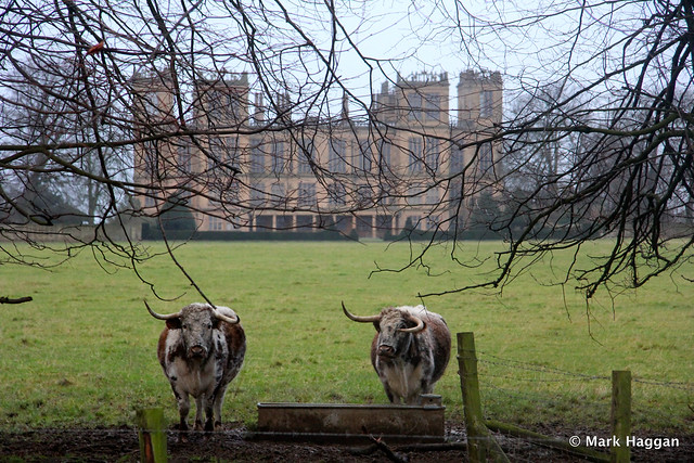 Cows at Hardwick Hall