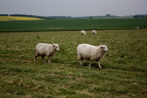 Stonehenge sheep