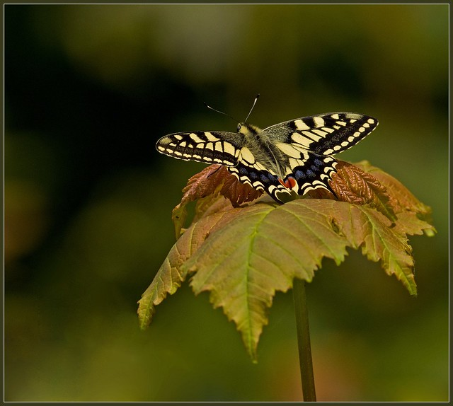 Swallowtails 3
