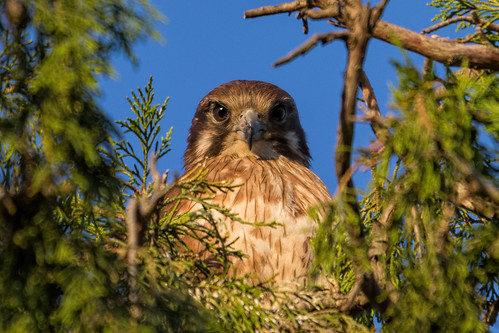 Brown Falcon 2013-09-12 (_MG_1886)