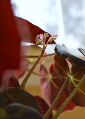 Begonia Begins Blossoming