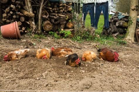 Chickens in the kitchen garden 2014