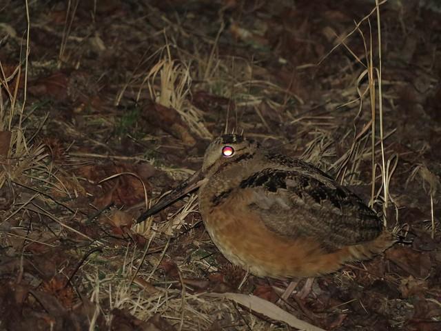 American Woodcock - Delaware - IMG_1166