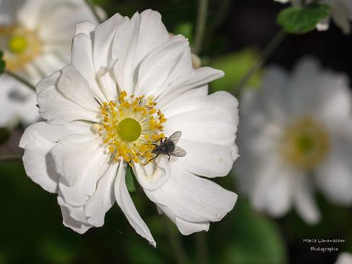 Fliege mag Herbstanemonen