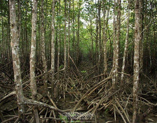 Mangroves Bakhawan Eco-Park Research Centre Kalibo Aklan