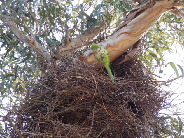 Periquito na porta do ninho