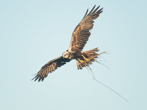 Male Marsh Harrier gathering nest material
