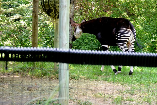 Okapi and Friend