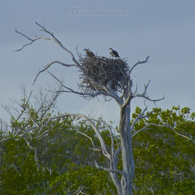 osprey 0000 Everglades, Florida, USA