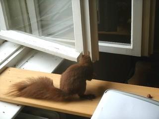 Eichhörnchen zähmen 16