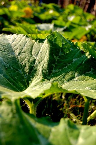 pumkin leaves