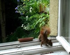 Eichhörnchen 1.4