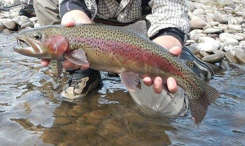 Wild McKenzie River Rainbow, cropped