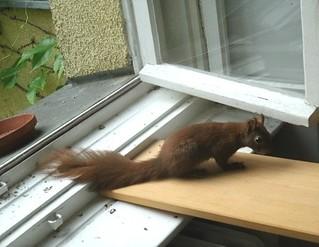 Eichhörnchen zähmen 9