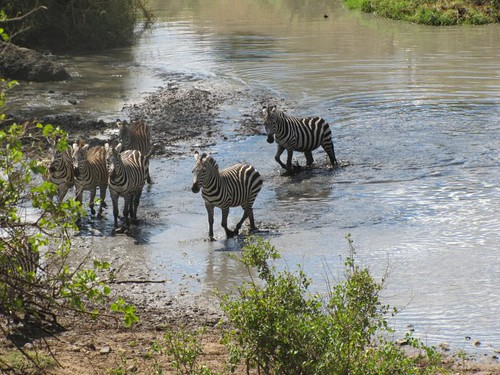 Zebra Bathing and Drinking