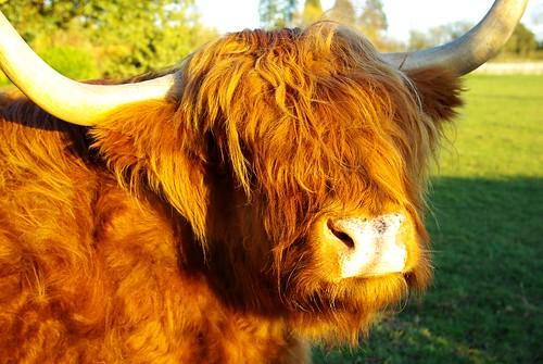 20120219-78_Highland Cow by gary.hadden
