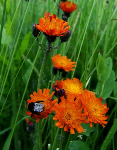 orange-butt bee on orange hawkweed