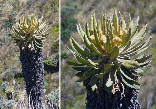 "Espeletia hartwegiana, a Frailejon ""tree""."