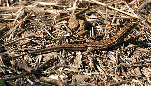Iberian Wall Lizard Podarcis hispanica Cabranosa, Sagres, Portugal October 2013