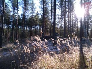 heinät-ja-männyt-lokakuisessa-metsässä