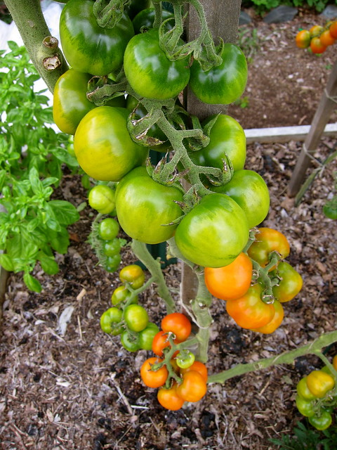 9.9.13 Winter Tomatoes — Pomodorini