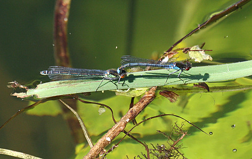 Red-eyed Damselfly Erythromma najas Leven Canal, East Yorkshire June 2013