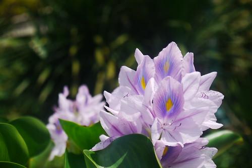 Bunga Enceng Gondok by gasepu_chem