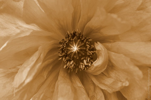 Poppy Seeds in Sepia
