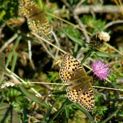 Two dark green fritillaries