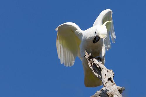 Sulphur-crested Cockatoo 2013-08-31 (_MG_1739)