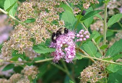 Bumblebee on spirea