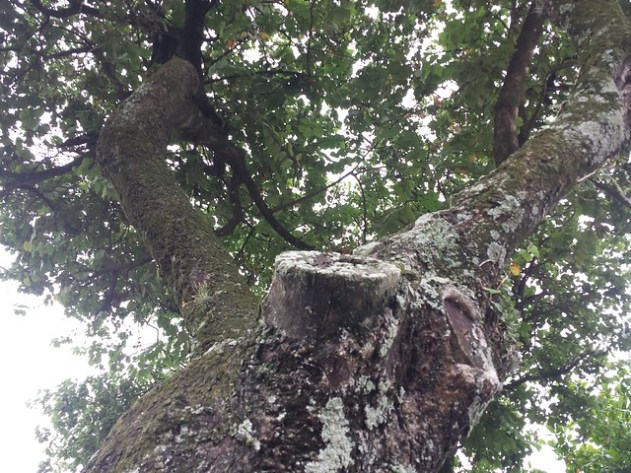 Quando eu era criança, esta árvore era a minha base secreta. Quando construiram a praça, cortaram este galho e não consegui mais subir nela. Hoje ela está no final de sua vida, aguardando que alguma tempestade a derrube ou que a prefeitura a remova.