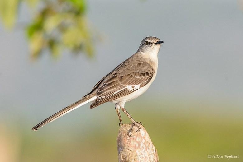 Northern Mockingbird (Mimus polyglottos orpheus)