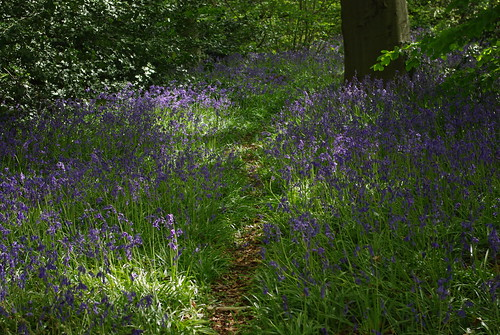 20130512-05_Path through Bluebells_Cawston Woods by gary.hadden