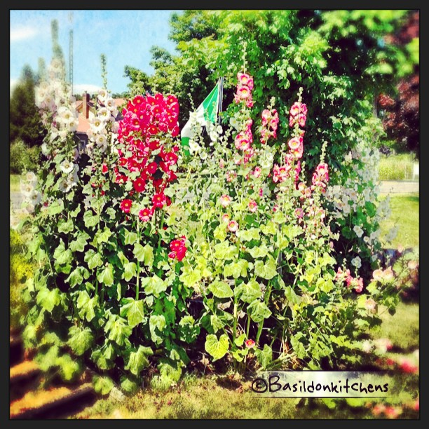 July 15 - beautiful {the hollyhocks @ Waupoos are beautiful!} #photoaday #beautiful #hollyhocks #princeedwardcounty