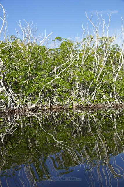 mangrove 0002 Everglades, Florida, USA