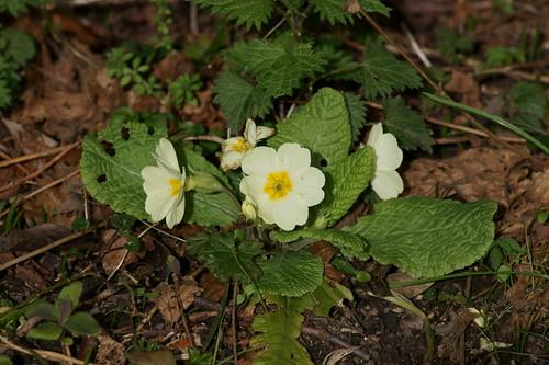 Signs of Spring 1 - Primrose