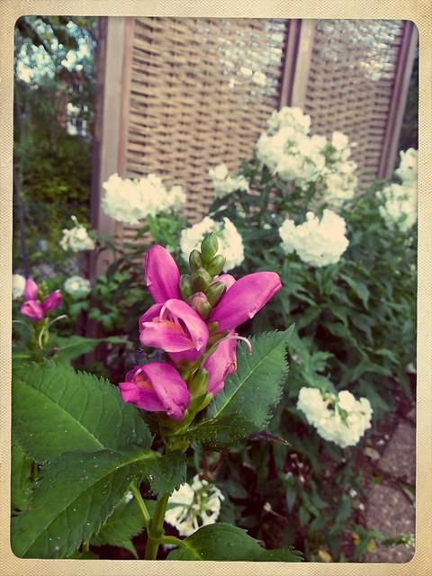 Sen blomster