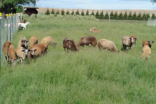 SheepBabiesMay