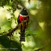Collared Trogon male landscape