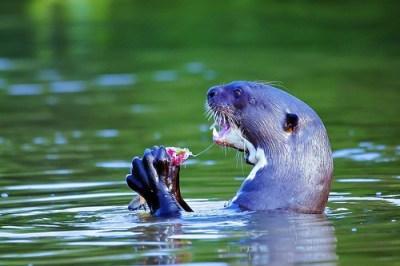 Giant River Otter Eating Fish - Explore #229 on 8/16/13