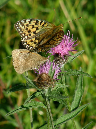 Dark green fritillary and meadow brown
