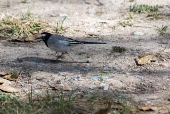 Weer zo'n leuk vogeltje, deze scharrelde rond naast ons bungalowtje.