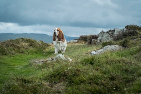 Minnie the Mountain Dog, Snowdonia National Park, N. Wales, June 2013
