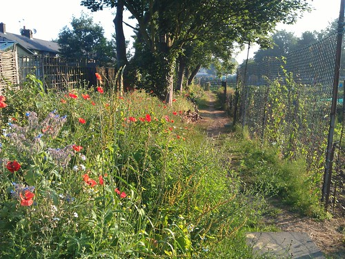 Allotment wildflowers